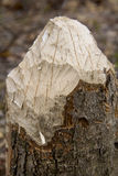 Top of a stump gnawed by a beaver. Stock Image