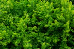 Top of summer green ash-tree forest solid foliage pattern background. At daylight royalty free stock image