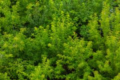 Top of summer green ash-tree forest solid foliage pattern background. At daylight stock photo