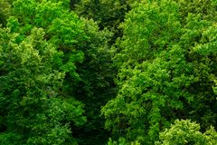 Top of summer green linden forest solid foliage pattern background. At daylight royalty free stock photo