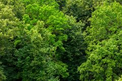 Top of summer green linden forest solid foliage pattern background. At daylight royalty free stock photography