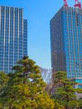 An arborist, tree surgeon, at work on top of a tree in Tokyo Japan. On top of a tall bonsai style Japanese Black Pine, Pinus thunbergii, in a downtown Tokyo Royalty Free Stock Photography
