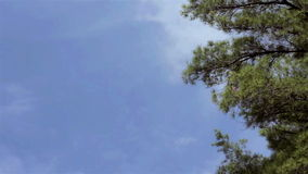 The top of tall pine trees wave in the wind against a blue sky. The top of tall pine trees wave in the wind against a blue clouded sky stock video