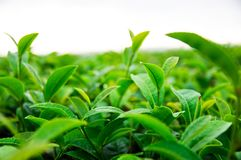 Top of the tea leaves in the farm stock photo