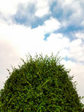 Top of Tea tree bending with blue sky and clouds Stock Image