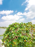 Top of Tea tree bending with blue sky and clouds Royalty Free Stock Photos