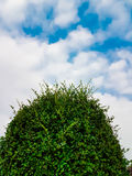 Top of Tea tree bending with blue sky and clouds Stock Photo