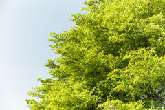 Top of Terminalia Ivorensis Chev tree Stock Photos