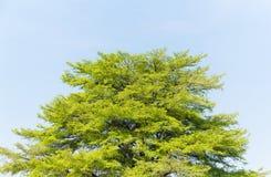 Top of Terminalia Ivorensis Chev tree Royalty Free Stock Photo