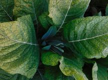 Looking down on the top of a tobacco plant royalty free stock image
