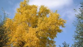 Top of a tree in autumn. Top of a tree in a beautiful yellow color Stock Photos