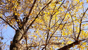 Top of Tree in the Autumn Forest with wind. Rotation, sound. Tree with rustling leaves  in the Autumn Sun with wind. Rotation, sound stock video