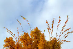 Top of tree in autumn. Top section of tree in autumn with golden leaves against blue sky Stock Photos