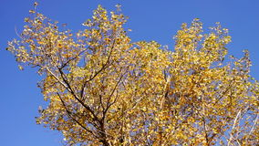 Top of Tree in the Autumn Sun with wind. Panning, sound. Top of Tree in the Autumn Sun with wind. Panning stock footage
