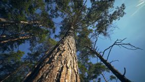 Top of tree, the crown of a tall pine: movement of camera in a circle. The top of the tree, the crown of a tall pine: the movement of the camera in a circle. A stock video footage