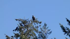 Top of tree with juvenile eagle in spring