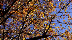 Top of Tree, rustling leaves in the Autumn  with  breeze stock video