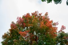 Top of the tree. Season change. Summer has end, Fall season just arrived. Leaves changing color at the top of the tree. Brown, Red and Orange royalty free stock images