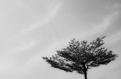 Top of tree. Top of tree with sky background in black and white tone Royalty Free Stock Photography
