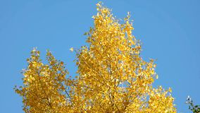 Top of a tree with yellow leaves. Close up. Clear blue sky background stock footage