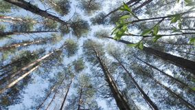 Top of the trees. View from the bottom. Top of the pine trees stock video footage
