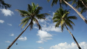 Top of two palms on sky background. Top of two palms on blue sky background stock footage