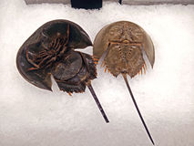 Top and Under Shell of Horseshoe Crab on Ice. Display Top and Under Shell of Horseshoe Crab on Ice Royalty Free Stock Photos