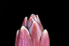 Top van spruit van Lilium-Kampioensdiamant Stock Afbeeldingen