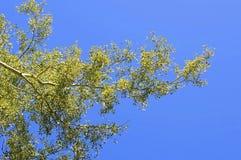 Hojas del verde del árbol y cielo azul Fotografía de archivo libre de regalías