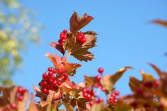 Top of viburnum bush with lot of hanging ripe red berries and green leaves over clear blue cloudless sky horizontal view royalty free stock image