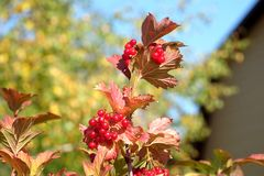 Top of viburnum bush with lot of hanging ripe red berries and green leaves over clear blue cloudless sky horizontal view royalty free stock photo