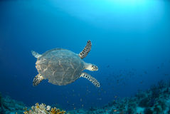Top view of an adult Hawksbill turtle Stock Image