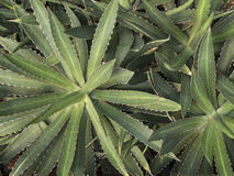 Top view of agave Royalty Free Stock Photos