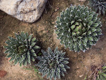 Top view of agave. On the ground Stock Photos