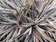 Top view of agave. Shows its spikes Stock Photos