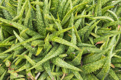Top view of aloe vera plant Stock Images