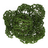 Top view of australian Boab tree isolated on white vector illustration