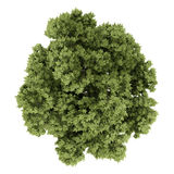 Top view of austrian oak tree isolated on white background Stock Images