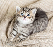 Top view of baby cat kitten on jersey. Top view of baby cat kitten lying on jersey royalty free stock photography