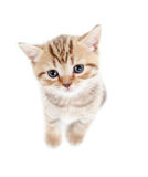 Top view of baby Scottish kitten Stock Photos