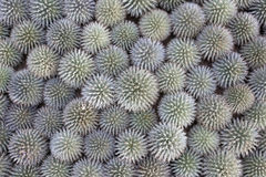 Top view of ball shaped many cactuses Royalty Free Stock Photo