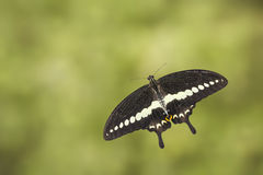Top view of banded swallowtail butterfly (Papilio demolion) Royalty Free Stock Photos