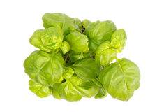 Top view of basil herb plant Royalty Free Stock Photo