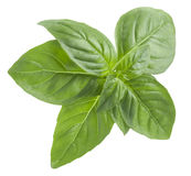 Top view of basil leaf isolated on white background Royalty Free Stock Photo