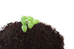 Top view of basil sprouts in soil isolated Stock Image