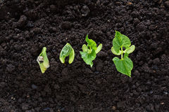 Top view of bean seed germination in soil Stock Images