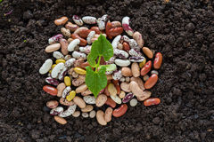 Top view of bean seed germination in soil with some seeds stock images
