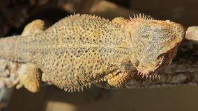 Top view of bearded Dragon. Australian reptile living in Australia in the deserti wildlife stock video