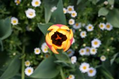 Top view of a beatiful tulip. Top view of a beatiful yellow tulip in spring time in Istanbul royalty free stock images