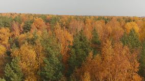 Sideways movement above beautiful autumn forest with deciduous and coniferous trees stock video